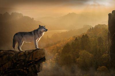 Два вълка - Изображение 1